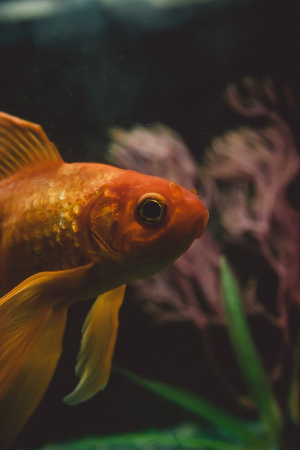 close up of goldfish's face